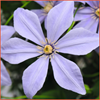 Clematis Sugar-Sweet Blue