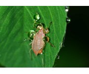 Remain vigilant for rising aphid numbers