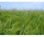 Local advice on managing blackgrass