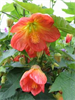 Abutilon - Model PVR - Lucky Lantern Orange