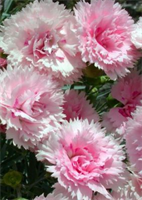 Dianthus Candy Floss