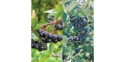 Aronia Berry Plants