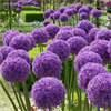 Allium Bulbs Globe Master