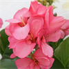 Model Elite Series - Large Flowering Canna Lily Pink Magic