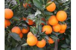 Commercial Citrus Plants