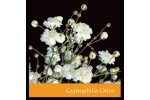 Gypsophilia Orion