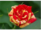 Fire Flash Roses