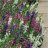 Serenita Hybrid Mix Angelonia Plants