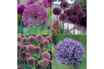 Ornamental Onion Hardy Bulb