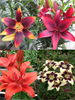 Asiatic Lily Collection (Pack of 12 Bulbs)