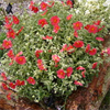 Helianthemum Beechpark Red