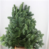 Abies Nobilis (Blue Spruce)