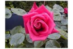 Rose Wendy Cussons - Fragrant Hybrid Tea Rose