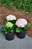 Model PP#14527 - Hydrangea Macrophylla 'Big Daddy