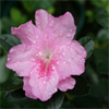 Azalea Rose Queen