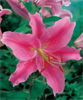 Acapulco Lily