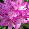 Anah Kruschke Rhododendron