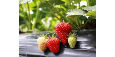 Day-Neutral Strawberry Plants