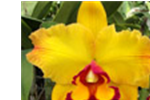 Cattleya Hybrids & Clones - Yellows