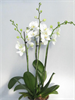 Phalaenopsis Luxury Four Stem - 17cm Pot