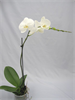 Phalaenopsis Single Stem - 12cm Pot