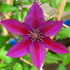 Patio Clematis