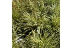 Evergold - Carex Oshimensis