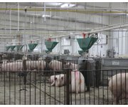 How Automatic Pig Feeding Systems improve the bottom line