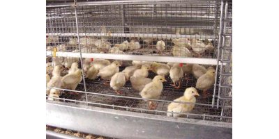 Stacked Pullet Rearing Cages-1