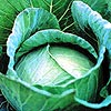 Green Seeds Co., Ltd - Cabbage F1 CJN12