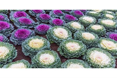 Enhancing Foliage Color of Ornamental Cabbage and Kale with LEDs