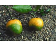 Treating citrus greening with copper: Effects on trees, soils