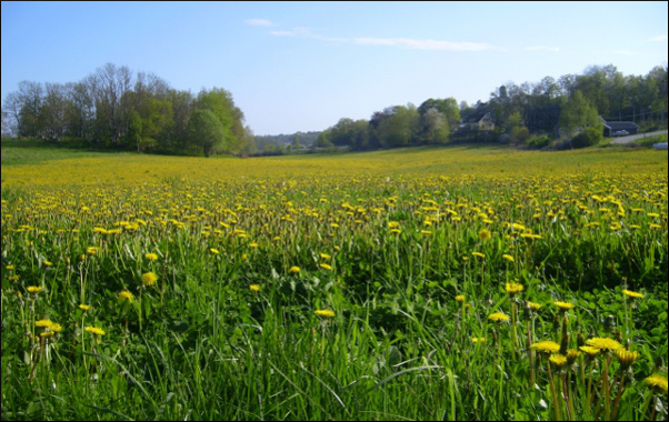 "Picture: Results ""before and after"" weeding dandelion in seeded grassland"