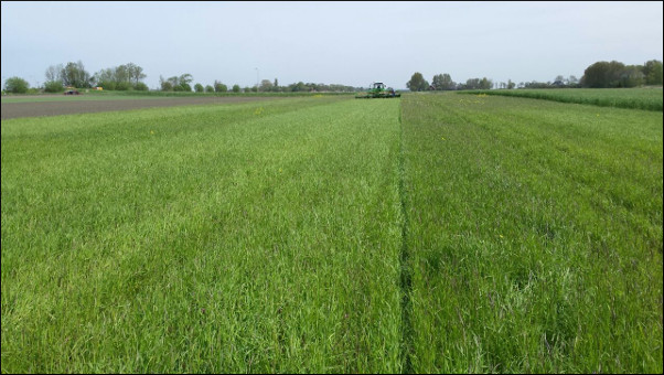 Picture: weeding blackgrass in einkorn wheat in the Netherlands.