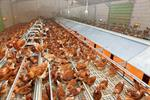Plastic Slats - Poultry Production