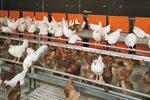 Feed Supply - Broiler breeder management