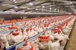 Feeding System for Broiler Breeders