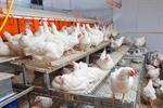 Broiler Breeder Aviary