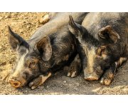 New swine vaccine is first U.S.-approved PRRS-Mhp combination