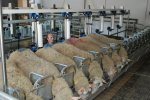 Sheep Milking System