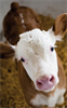 VelPhone - Calving Detection via SMS