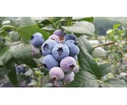5 Blueberry Bush Frost Protection Tips and Tricks