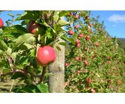 Helpful Tips to Protect Your Apple Orchards