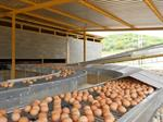 Poultry Egg Conveyors