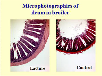Sections of ileum in broiler fed LACTURE (left) vs control diet.
