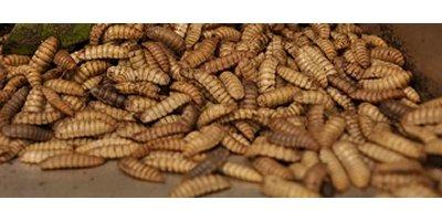 Live BSF Larvae
