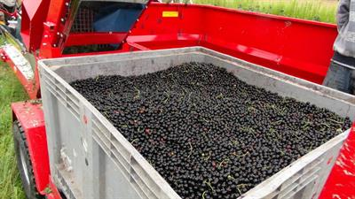 CURRANT AND BERRY HARVESTER-1