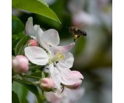 Wild bees boost apple harvest