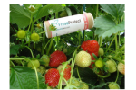 FresaProtect - Strawberry Aphid Species Parasitoides