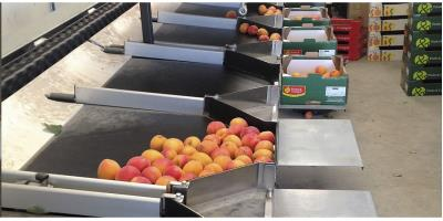 Aweta - Apricots Midstar Sizer Sorting System
